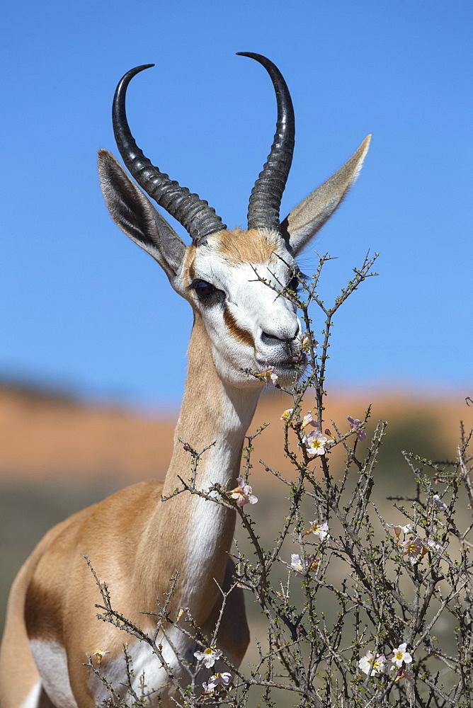 Springbok (Antidorcas marsupialis) eating driedoring flowers (Rhigozum trichotomum) Kgalagadi Transfrontier Park, South Africa, Africa