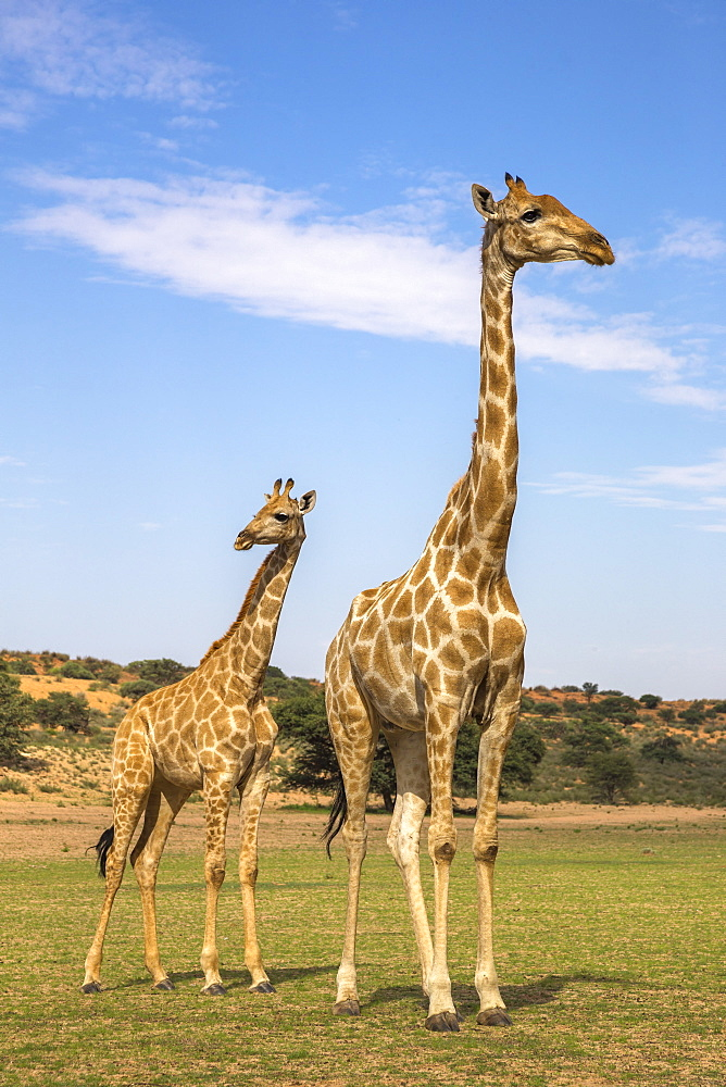 Giraffe (Giraffa camelopardalis) with young, Kgalagadi Transfrontier Park, Northern Cape, South Africa, Africa