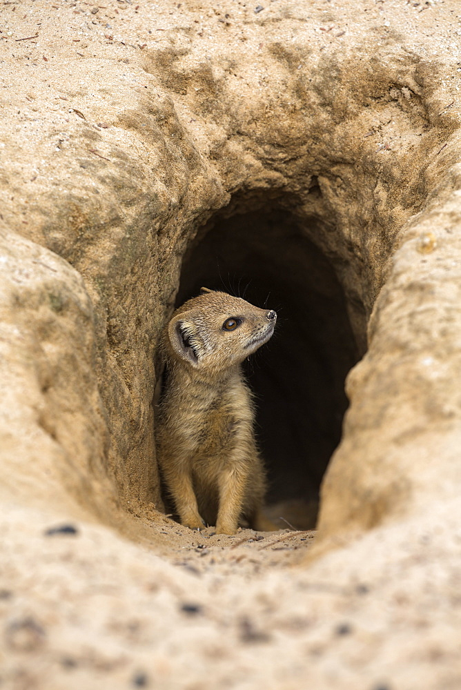Young yellow mongoose (Cynictis penicillata) at burrow, Kgalagadi Transfrontier Park, Northern Cape, South Africa, Africa