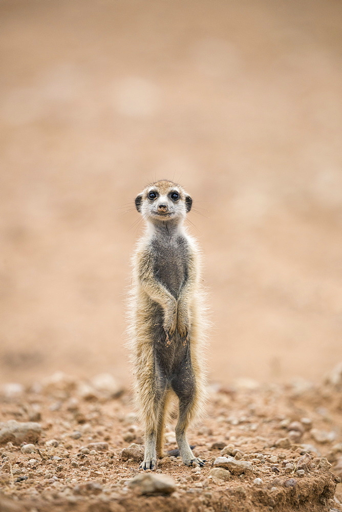 Young meerkat (Suricata suricatta) at burrow, Kgalagadi Transfrontier Park, Northern Cape, South Africa, Africa