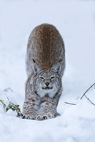 Northern lynx (Lynx lynx lynx), captive, Highland Wildlife Park, Kingussie, Scotland, United Kingdom, Europe