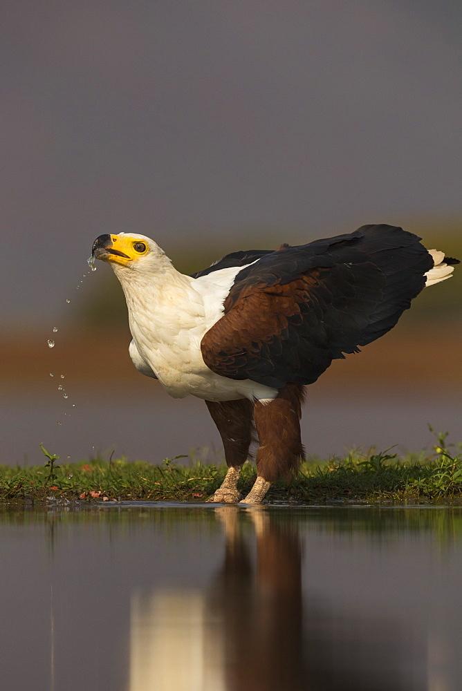 African fish eagle (Haliaeetus vocifer) drinking, Zimanga private game reserve, KwaZulu-Natal, South Africa, Africa