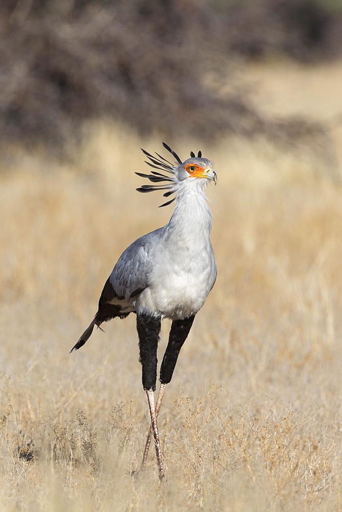 Secretarybird (Sagittarius serpentarius), Kgalagadi Transfrontier Park, South Africa, Africa