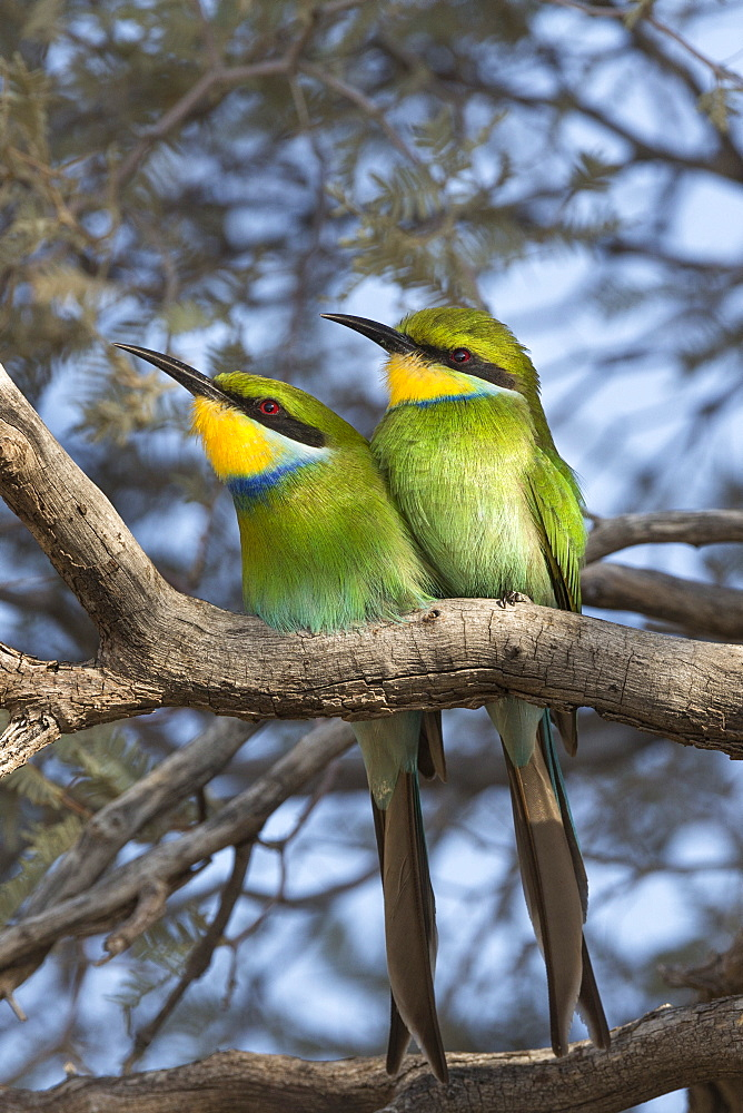 Swallowtailed bee-eater (Merops hirundineus), Kgalagadi Transfrontier Park, South Africa, Africa