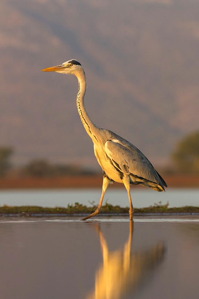 Grey heron (Ardea cinerea), Zimanga private game reserve, KwaZulu-Natal, South Africa, Africa