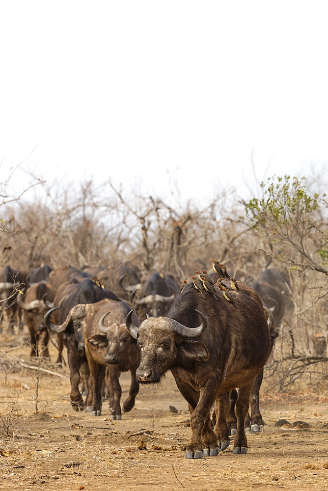 Cape buffalo (Syncerus caffer) herd, Kruger National Park, South Africa, Africa