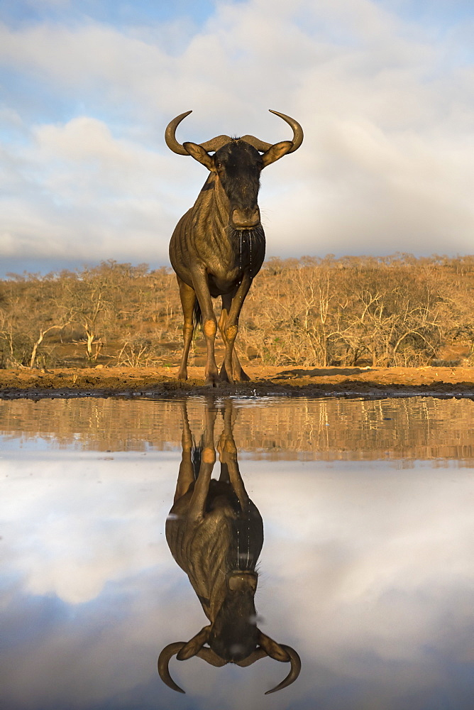 Common (blue) wildebeest (gnu) (Connochaetes taurinus) with reflection at waterhole, Zimanga private game reserve, KwaZulu-Natal, South Africa, Africa
