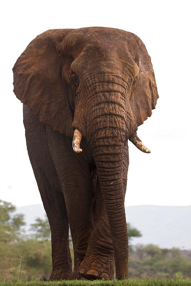 African elephant (Loxodonta africana), Zimanga private game reserve, KwaZulu-Natal, South Africa, Africa