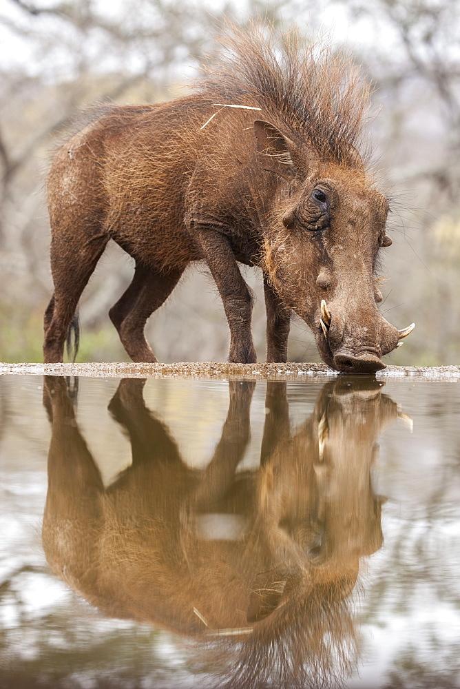 Warthog male (Phacochoerus africanus) drinking, Zimanga game reserve, KwaZulu-Natal, South Africa, Africa