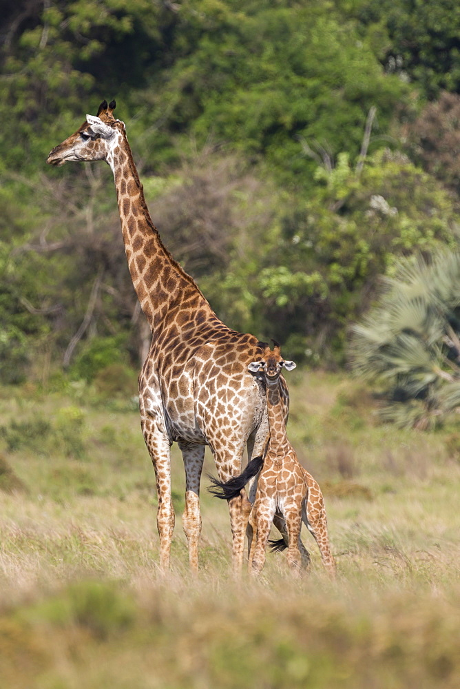 Giraffe (Giraffa camelopardalis) with small baby, Isimangaliso, KawZulu-Natal, South Africa, Africa