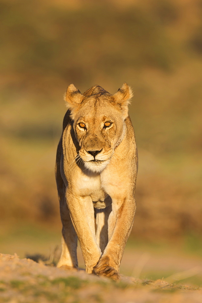 Lioness (Panthera leo) in the Kalahari, Kgalagadi Transfrontier Park, Northern Cape, South Africa, Africa