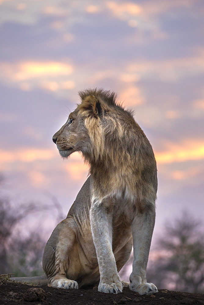Lion (Panthera leo) at dawn, Zimanga private game reserve, KwaZulu-Natal, South Africa, Africa