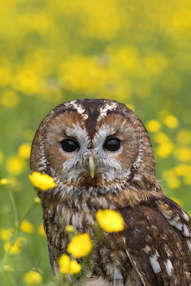 Tawny owl (Strix aluco) in buttercups, captive, Cumbria, England, United Kingdom, Europe - 743-1498