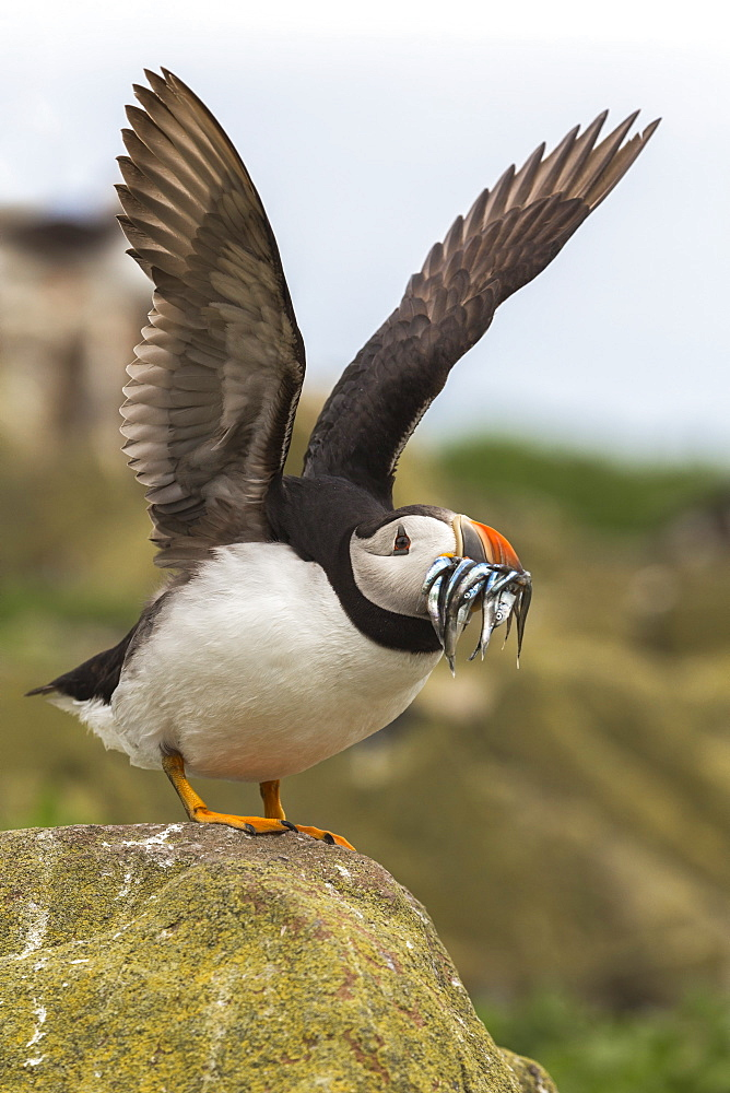 Puffin (Fratercula arctica) with sandeels, Farne Islands, Northumberland, England, United Kingdom, Europe