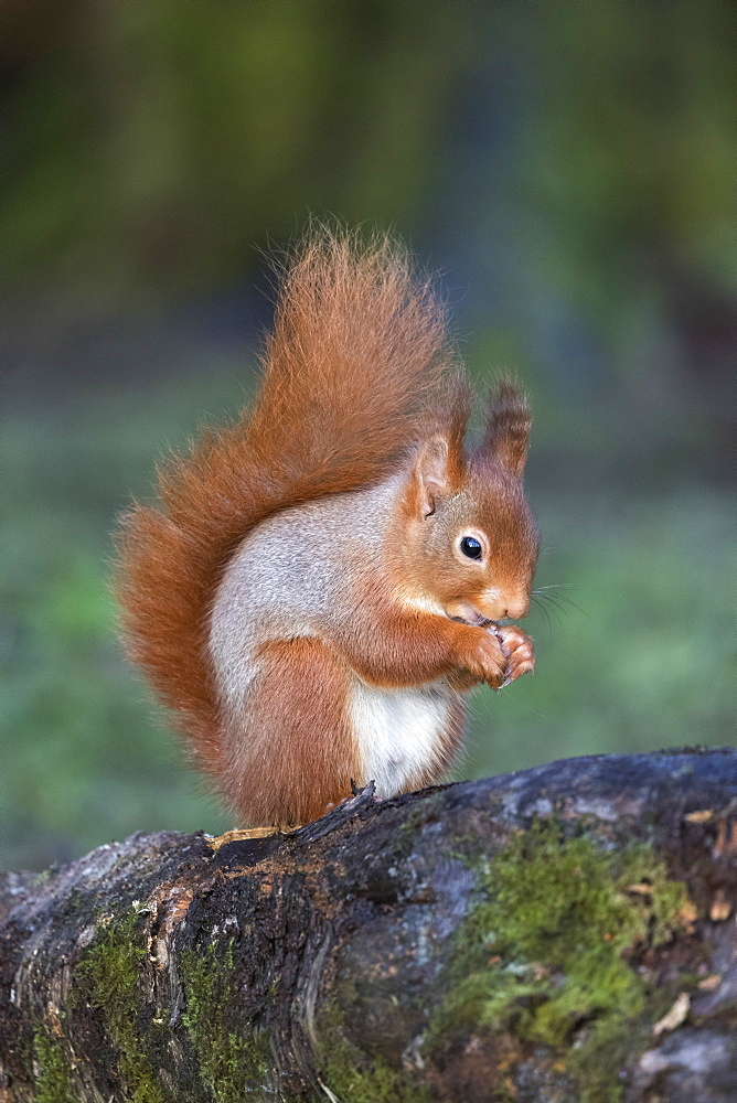 Red squirrel (Sciurus vulgaris), Eskrigg nature reserve, Lockerbie, Scotland, December 2016