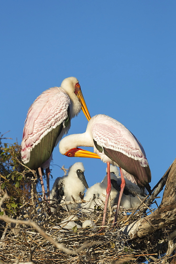 Yellow-billed stork (Mycteria ibis) on nest, Chobe River, Botswana, Africa