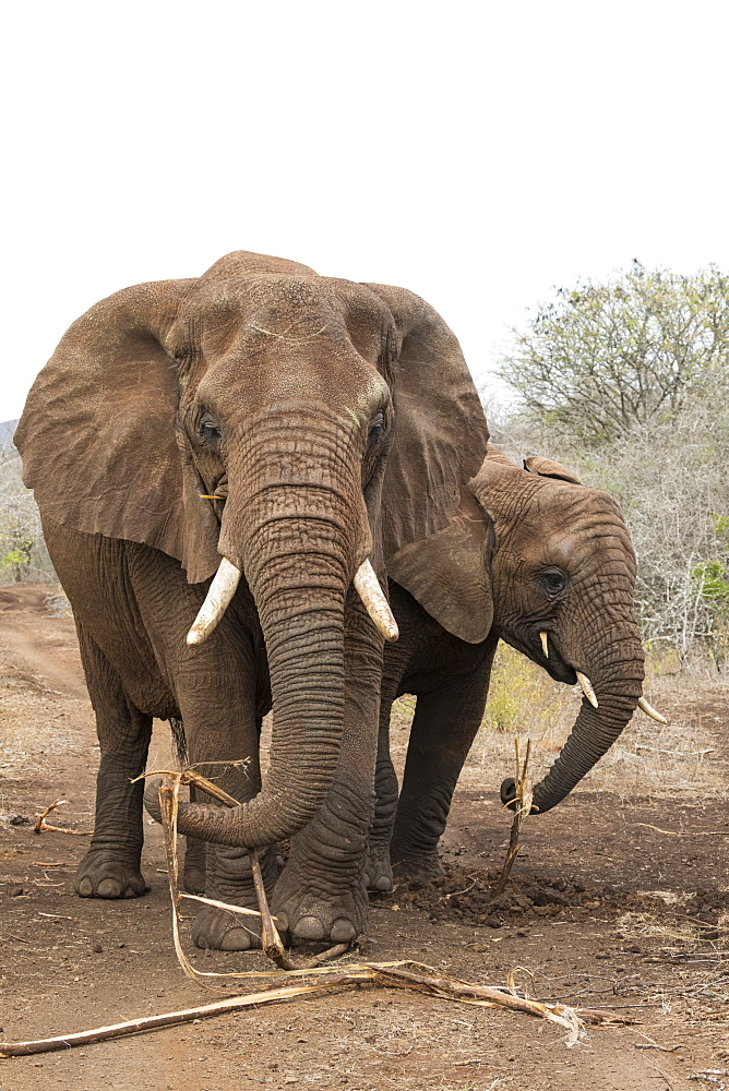 African elephants (Loxodonta africana) feeding on roots, Zimanga Reserve, KwaZulu-Natal, South Africa, Africa