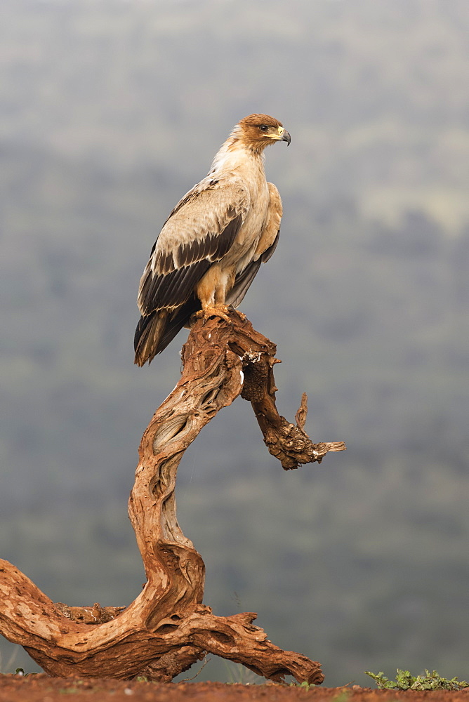 Tawny eagle (Aquila rapax), Zimanga Private Game Reserve, KwaZulu-Natal, South Africa, Africa