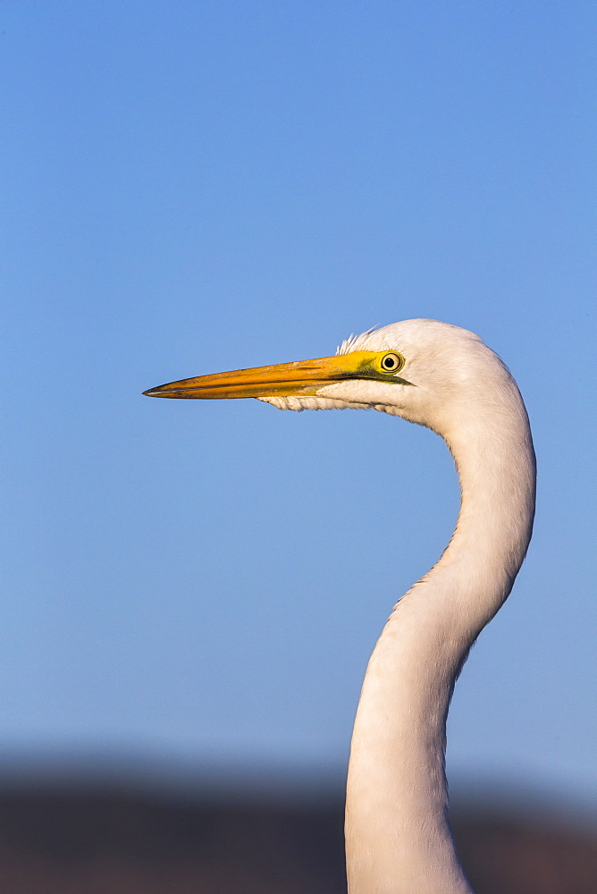Great egret (Ardea alba), Zimanga Private Game Reserve, KwaZulu-Natal, South Africa, Africa - 743-1613