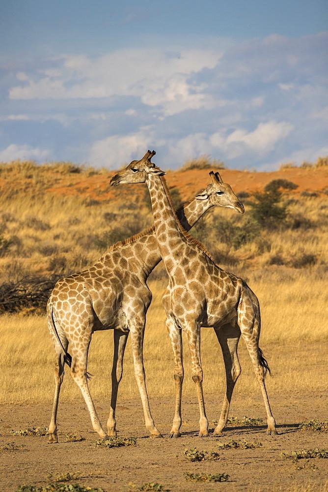 Giraffes (Giraffa camelopardalis), Kgalagadi Transfrontier Park, South Africa, Africa - 743-1645