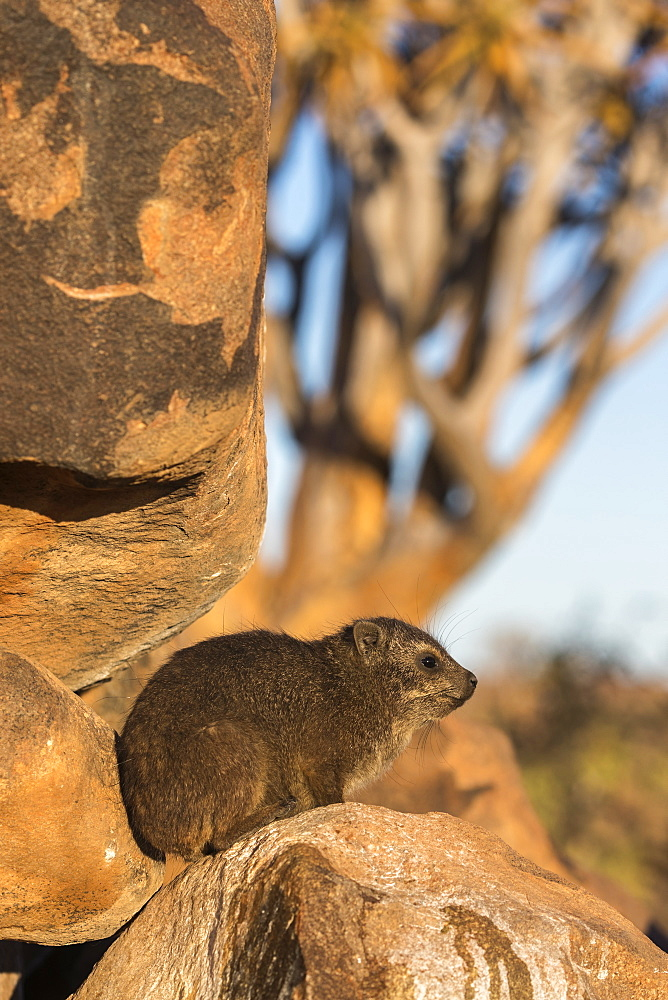 Rock hyrax (Procavia capensis), Quiver Tree Forest, Keetmanshoop, Namibia, Africa - 743-1648