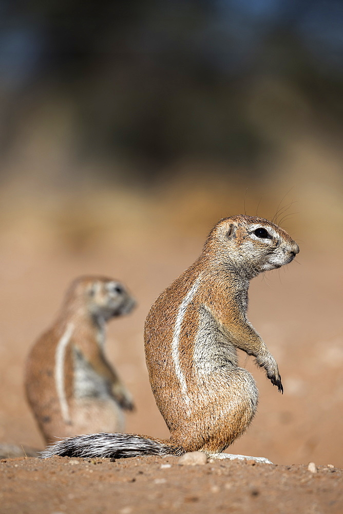 Ground squirrels (Xerus inauris), Kgalagadi Transfrontier Park, Northern Cape, South Africa, Africa - 743-1653