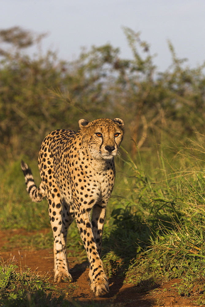 Cheetah (Acinonyx jubatus) female, Zimanga Private Game Reserve, KwaZulu-Natal, South Africa, Africa - 743-1662