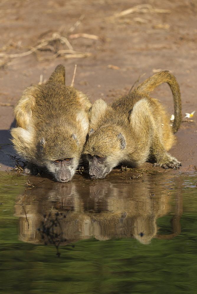 Chacma baboons (Papio ursinus griseipes) drinking, Chobe National Park, Botswana, Africa