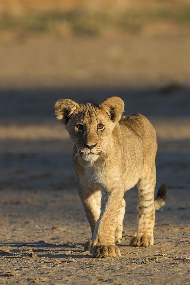Lion (Panthera leo) cub, Kgalagadi Transfrontier Park, South Africa, Africa - 743-1669