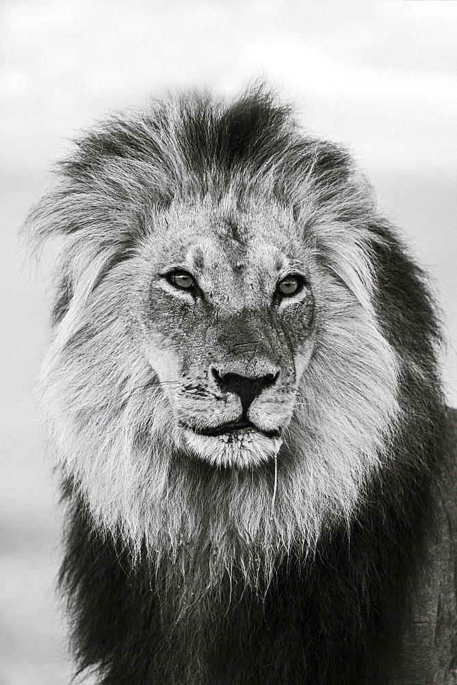 Lion (Panthera leo) male in monochrome, Kgalagadi Transfrontier Park, South Africa, Africa