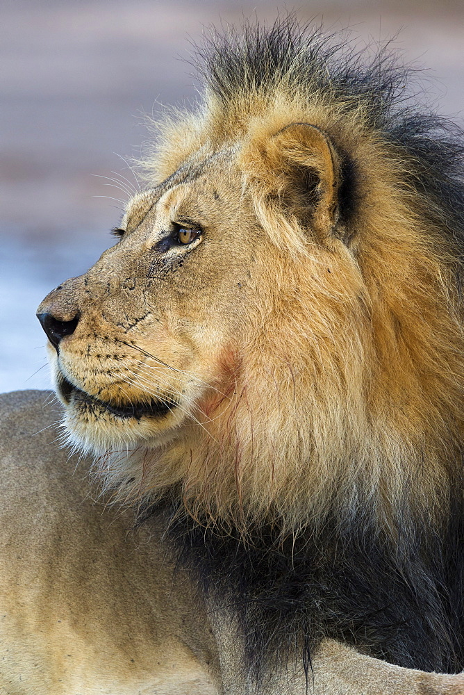 Lion (Panthera leo) male, Kgalagadi Transfrontier Park, South Africa, Africa - 743-1676