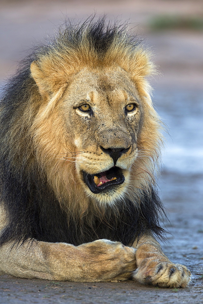 Lion (Panthera leo) male, Kgalagadi Transfrontier Park, South Africa, Africa - 743-1677
