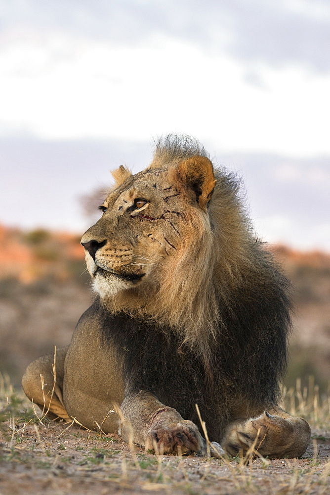 Lion (Panthera leo) male, Kgalagadi Transfrontier Park, South Africa, Africa - 743-1678