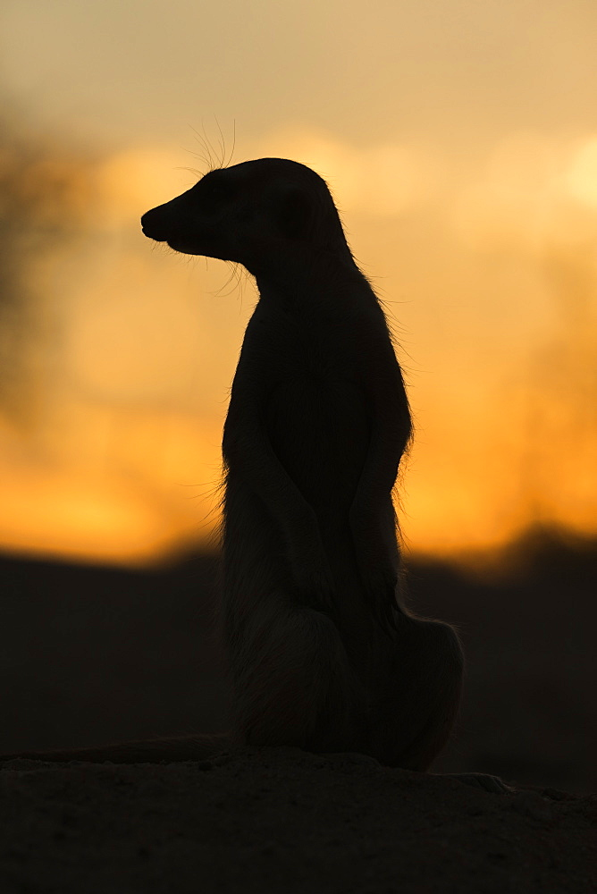 Meerkat (Suricata suricatta) silhouette, Kgalagadi Transfrontier Park, South Africa, Africa