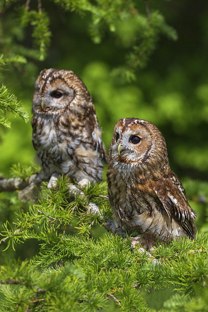 Tawny owls (Strix aluco), captive, Cumbria, England, United Kingdom, Europe - 743-1707
