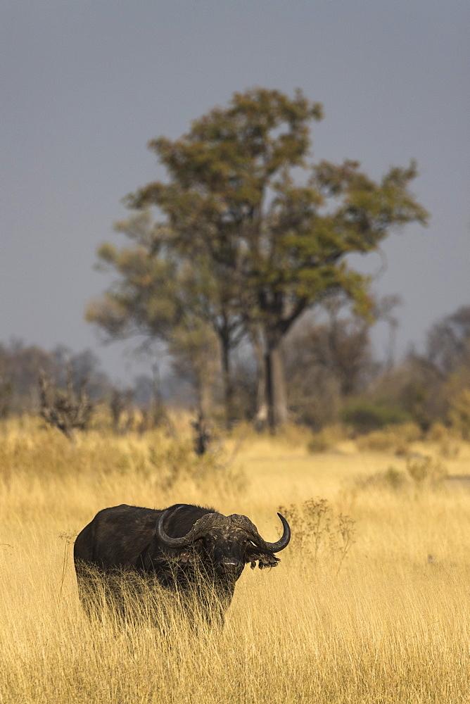 Cape buffalo (Syncerus caffer), Khwai Conservancy, Botswana - 743-1737