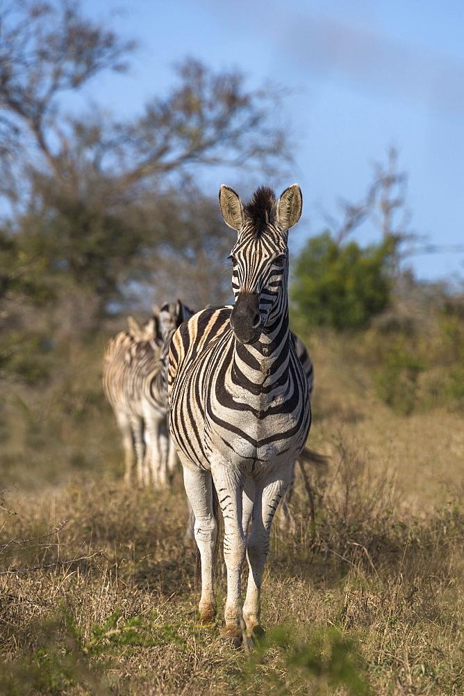 Plains zebra (Equus quagga), iMfolozi game reserve, KwaZulu-Natal, South Africa, - 743-1771