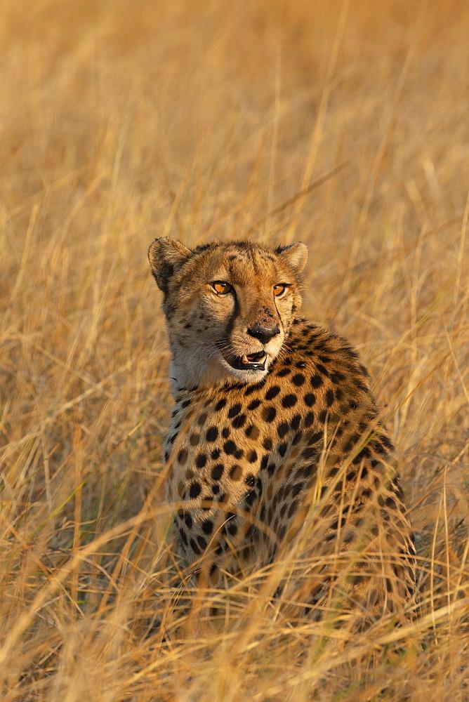 Cheetah, Acinonyx jubatus,  Khwai conservancy, Okavango, Botswana, Southern Africa