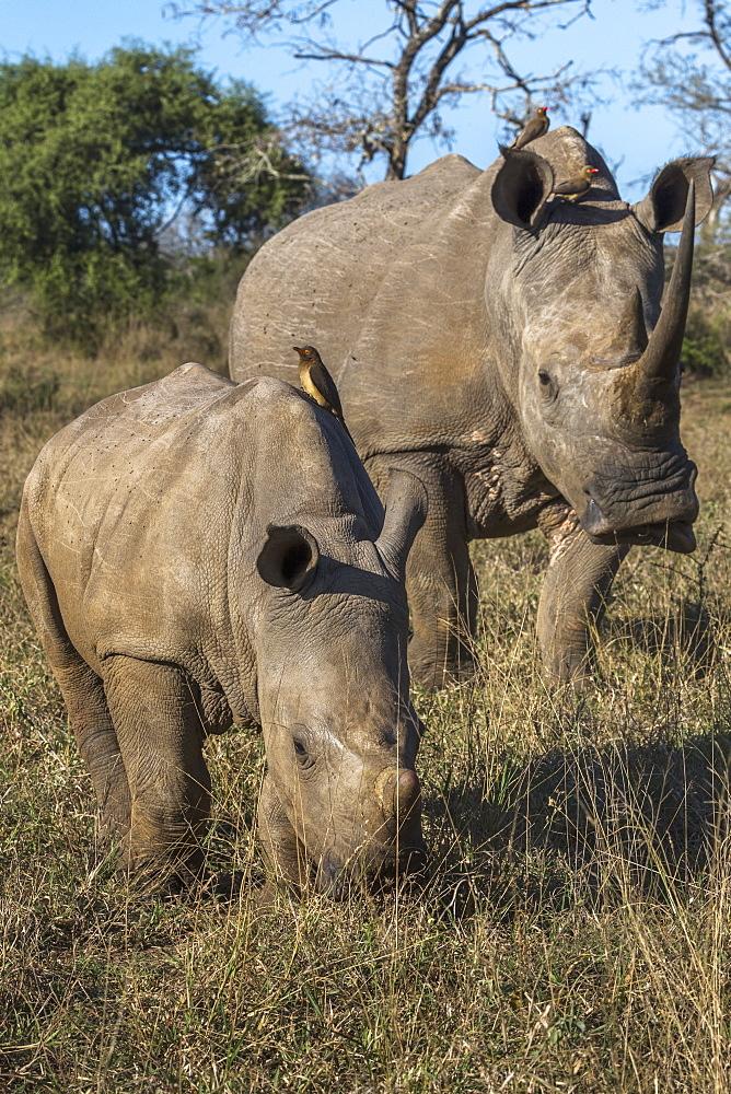 White rhinos (Ceratotherium simum), iMfolozi game reserve, KwaZulu-Natal, South Africa, - 743-1790