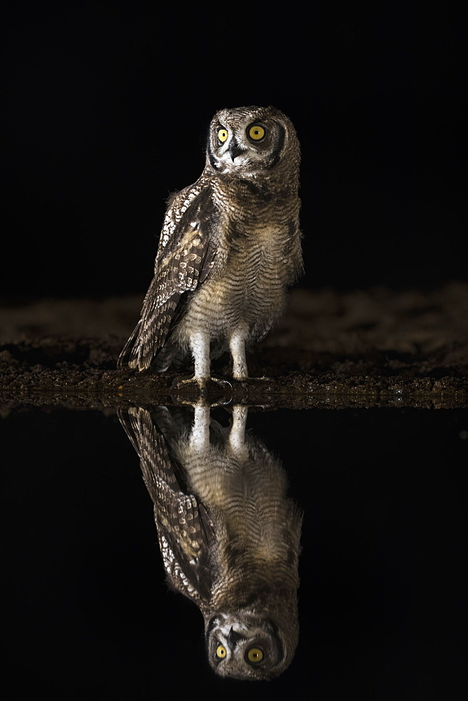Spotted eagle owl (Bubo africanus) at night, Zimanga private game reserve, KwaZulu-Natal, South Africa,