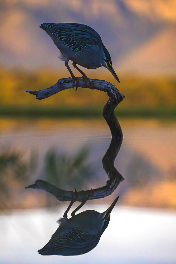 Greenbacked (striated) heron (Butorides striatus), Zimanga private game reserve, KwaZulu-Natal, South Africa, Africa