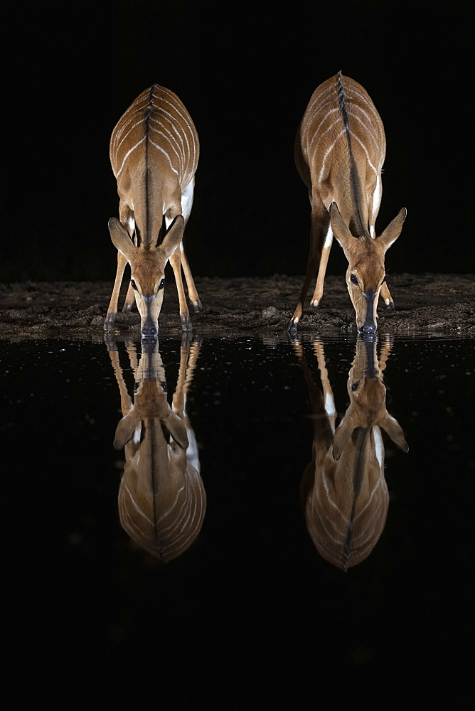 Nyala (Tragelaphus angasii) at water at night, Zimanga private game reserve, KwaZulu-Natal, South Africa, Africa