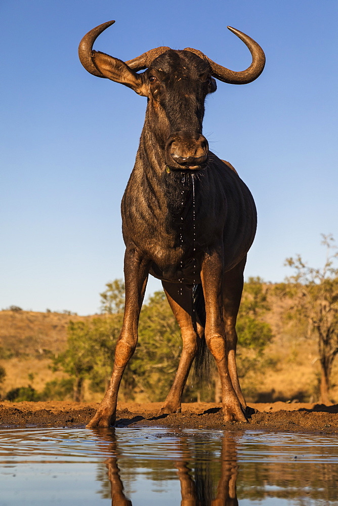 Common wildebeest (Connochaetes taurinus) at water, Zimanga game reserve, KwaZulu-Natal, South Africa, Africa - 743-1822