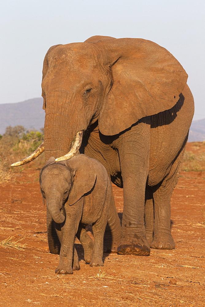 African elephant (Loxodonta africana) and calf, Zimanga game reserve, KwaZulu-Natal, South Africa, Africa