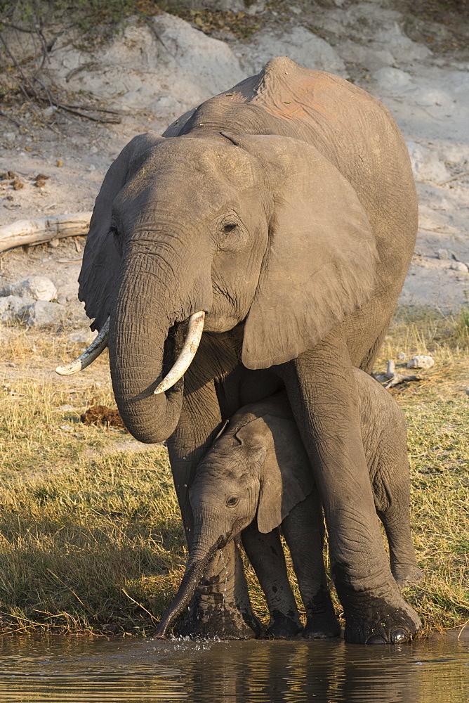 African elephant (Loxodonta africana) with calf drinking, Chobe National Park, Botswana, Africa