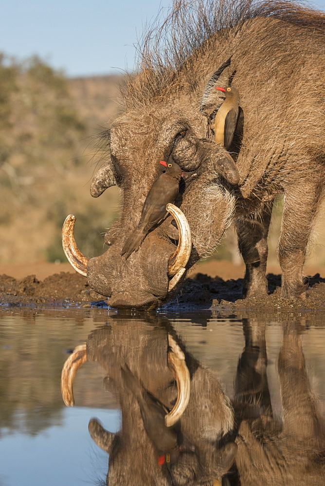 Warthog (Phacochoerus africanus) drinking, with redbilled oxpeckers, Zimanga game reserve, KwaZulu-Natal, South Africa, Africa