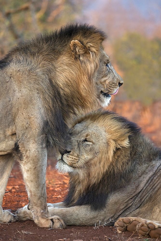 Lion (Panthera leo) brothers, Zimanga private game reserve, KwaZulu-Natal, South Africa, Africa