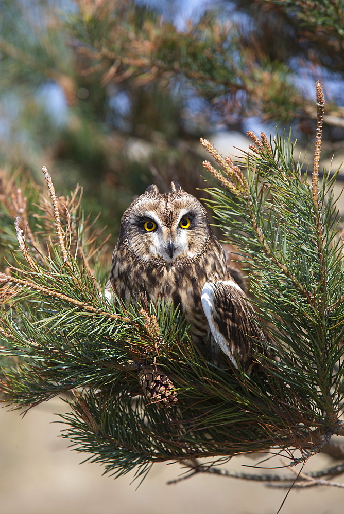 Short-eared owl (Asio flammeus) captive, Holy Island, Northumberland, England, United Kingdom, Europe - 743-1865