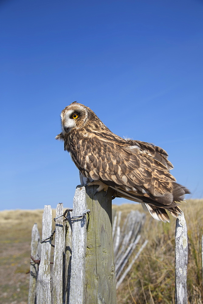 Short-eared owl (Asio flammeus) captive, Holy Island, Northumberland, England, United Kingdom, Europe - 743-1868