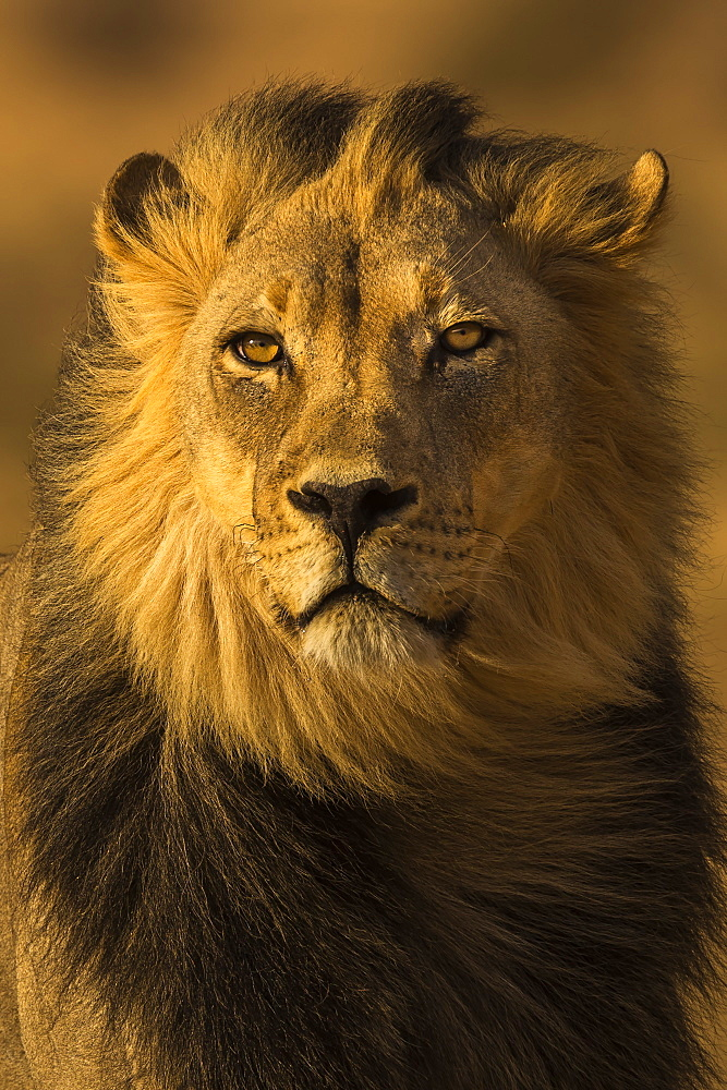 Lion (Panthera leo) male, Kgalagadi Transfrontier Park, South Africa, Africa